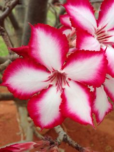 Impala lilly, South Africa