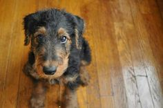 Towering Olivia Joy Thunder the airedale
