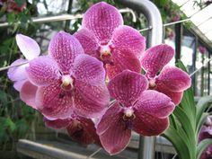 Orchidée Vanda Orchids, Shrubs, Flowers, Plants