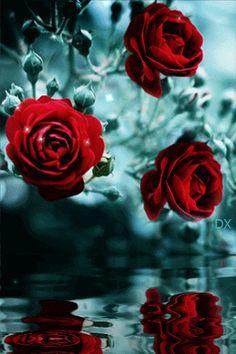 Animação balançando os galhos e os botões de rosas vermelhas sobre a água, saltando, balançando os ramos Sifco com rosas Red Bud acima da água, reflectindo