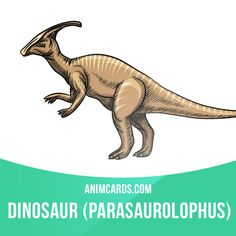 This genus is known for its large, elaborate cranial crest, which at its largest forms a long curved tube projecting upwards and back from the skull. It was able to walk on either two legs or four. It probably preferred to forage for food on four legs, but ran on two.  #english #englishlanguage #learnenglish #studyenglish #language #vocabulary #dictionary #englishlearning #vocab #animals #dinosaur #dinosaurs #parasaurolophus #hadrosaurid
