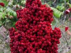 Staghorn Sumac seeds hand-picked from high-quality genetic trees here in Northumberland County, Ontario! Tree: Rhus Typhina A.A : Eastern Canadian Sumac , lemonade of the woods Zones: Harvested From to Zone Plant yourself a furry red giant today! Giants Today, Red Giant, Genetics, Step By Step Instructions, Lemonade, Harvest, Seeds, Plants, Etsy