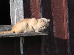 Stray cats will often show up and live in the barn. They eat mice and get fed by country folk. This is Peaches, the barn cat.