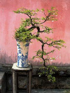 jasmine bonsai