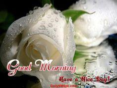 Good Morning Roses | good morning fresh white rose pictures Good Morning White Rose