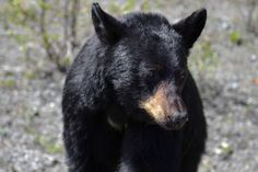 DESPITE STRAIGHT LINES posted a photo:  This photograph was taken at an altitude of Nine hundred and fifteen metres, at 14:18pm on Tuesday 3rd May 2016 between Prophet River and Muskwa off Dease Highway 37 between Dease Lake and Porter Landing in Northern British Columbia, Canada.  This is a juvenile American Black Bear (Ursus Americanus), a medium sized bear native to North America, and found in abundance in the Yukon territory and Alaska. Black bears have a small tail, up to nine inches…