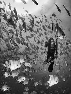 A huge school of Atlantic Spadefish off SC coast.  Beautiful, a favorite fish of mine.