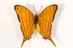 Image result for marpesia berania butterfly images