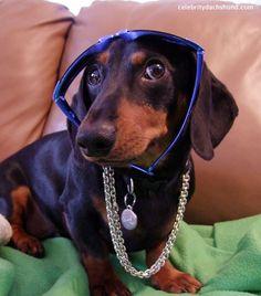 dachshund bling gangster