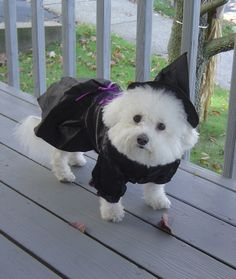 Lil' Bichon Frise all ready for tricks or treats!