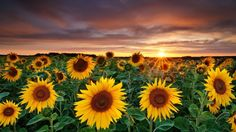 Sunflower wallpapers have become very common because they are not only aesthetically pleasing but they are also very beautiful and inspiring.