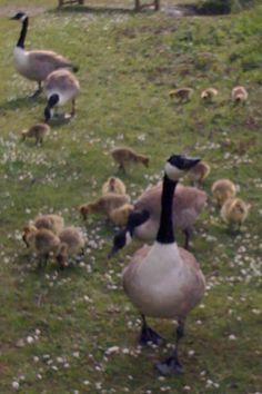 Beautiful  Canada geese with lots of babies in the Rickmansworth Aquadrome