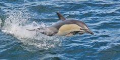Dolphins in Hermanus
