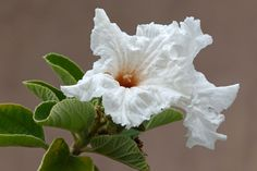 The Cordia boissieri [Texas Olive] is starting to bloom in Boppart Courtyard.