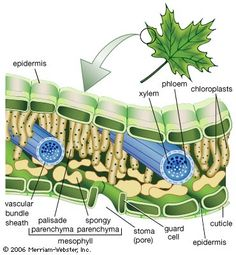 biology notes Learn to Identify Plants-Le - biology Tissue Biology, Biology Art, Biology Lessons, Science Biology, Teaching Biology, Life Science, Science And Nature, Science Education, Cell Biology Notes