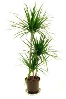 Spider Plant is one of the easiest houseplants to care for ...