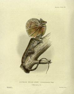Australian frilled lizard, The Naturalist in Australia, W. Saville-Kent, 1897.