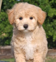 Image viaOh my god, it's a perfect mix between my puppies! a maltese and a poodle. yes it is okay to cryImage viaMaltese Poodle = Maltipoo cute animals swe Puppies And Kitties, Teacup Puppies, Cute Puppies, Pet Dogs, Doggies, Animals And Pets, Baby Animals, Cute Animals, Dog Pictures
