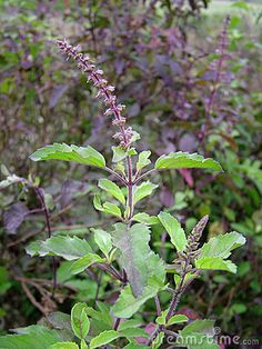 Holy Basil Plant is originally from India and is used in Ayurvedic Medicine as an 'adaptogen' to counter life's stresses. Tulsi is considered a sacred plant.