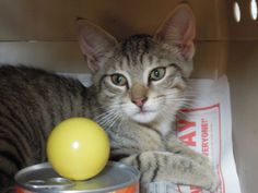 Abyssinian cat rescue new york