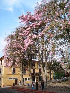 Parque central de Miraflores Boyacá en Colombia . Hermosos árboles de Ocobos. Bella, Plants, Outdoor, Colombia, Places To Visit, Parks, I Love, Naturaleza, Outdoors