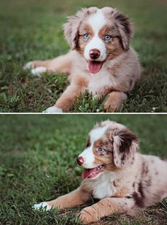 "500px / Photo ""He's not fashion.. but he is awesome. "" by Brenna Gentry #australianshepherdpuppy"
