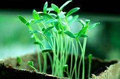 Zufällige Mutationen von Pflanzen dürfen patentiert werden