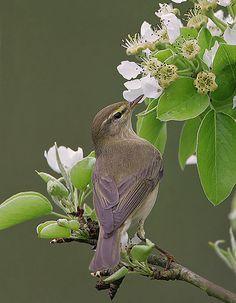 Gransanger (Phylloscopus collybita) by Mark Hancox Bird Photography