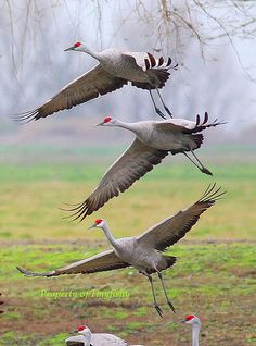 SANDHILL CRANES - if you are observant in the fall or spring, you might hear a strange sound coming from the sky. If you look you might miss the migrating cranes, they fly so high. Edmonton AB