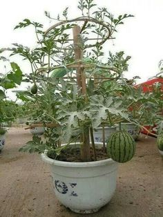 Watermelon growing in pots.