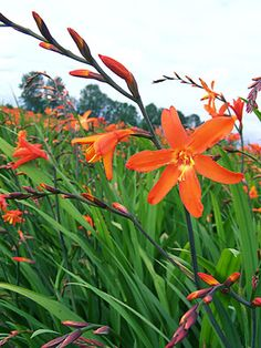 Crocosmia 'Skylight'. I Love Crocosmia they are such a wonderful summer blooming perennial.