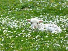 Baby Sheep, Cute Sheep, Sheep And Lamb, Nature Animals, Farm Animals, Animals And Pets, Beautiful Creatures, Animals Beautiful, Cute Lamb