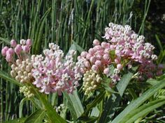 Asclepias incarnata L., Swamp milkweed, Pink Milkweed. 3-6 ft ht. blooms Jun-Oct. High water requirement, keep moist; Sun-P. Shade;  Monarch food source, attracts other butterflies, hummingbirds.
