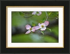 Framed Print featuring the photograph Pink Dogwood Spring by rd Erickson
