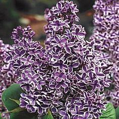Sensation Lilac  Dramatic, bicolor blooms of purple, elegantly trimmed in white, cover this lilac in early to mid spring, filling the air with their sweet scent. Beautiful as a border shrub or a colorful hedge. Blooms are complemented by heart-shaped foliage. Adds distinctive flair to cut-flower bouquets. Grows 10-15' tall; spreads 10-12'.   Light: Full Sun to Partial Shade  Height: 10-15'  Bloom Time: Early to Mid Spring