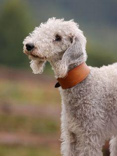 julieruth | Bedlington Terrier