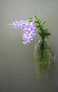Vanda coerulea'Orchid Dynasty' (India, Myanmar, Thailand)//clinton lewis