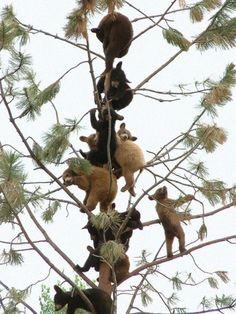 All real bear cubs. Looks like stuffed animals. Cute Baby Animals, Animals And Pets, Funny Animals, Wild Animals, Beautiful Creatures, Animals Beautiful, Animals Amazing, Bear Cubs, Baby Bears