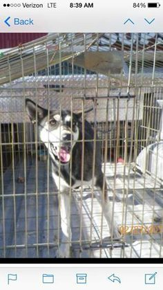 Can anyone help? THIS GUY HAS ZERO CHANCE OF MAKING IT WITHOUT OUTSIDE HELP. This husky pup is to be euthanized tomorrow in Jal NM. We have transport to Odessa if anyone can take her. ARE YOU IN TEXAS? INTERESTED IN ADOPTION OR FOSTERING? PM THIS GROUP NOW!   I saw a pup just like her today and she had so much bounce in her step, beautiful!!!