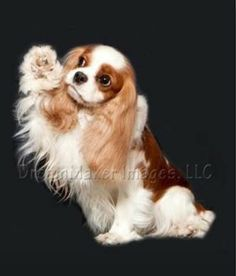 Find Out More On Playfull Cavalier King Charles Spaniel Exercise Needs King Charles Puppy, Cavalier King Charles Dog, King Charles Spaniel, Cavalier King Spaniel, Spaniel Dog, Cute Puppies, Cute Dogs, Beautiful Dogs, I Love Dogs