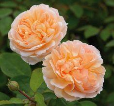 -- www.gardenia.net Garden Shrubs, Garden Plants, Flowers Garden, David Austin Rosen, Shrub Roses, Fragrant Roses, Old Rose, Color Rosa, Tea Roses