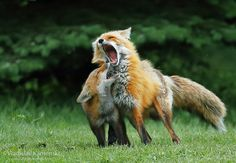 Love in its rough form... 365 days fox marathon Day 315 #365daysfoxmarathon #photography #wildlife
