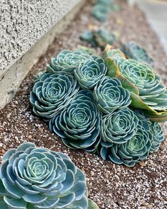 Blue Rose Echeveria is one of the most perfect rosettes. We guarantee plant's safe arrival otherwise we will refund or send you a replacement plant. Cacti And Succulents, Planting Succulents, Echeveria Imbricata, Drought Resistant Plants, Flower Branch, Unusual Plants, Agaves, Cactus Y Suculentas, Houseplants