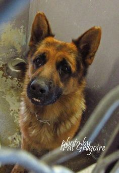 A4855645 My name is Mo Mo. I am a very friendly 1 yr 10 month old male black/tan German Shepherd. My owner left me here on July 14. available now Baldwin Park shelter. Baldwin Park shelter is HIGH KILL!! HELP ME PLEASE! https://www.facebook.com/photo.php?fbid=1000199309991906&set=a.705235432821630&type=3&theater