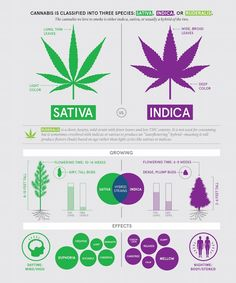 Difference Between Indica And Sativa Marijuana Strains | It's time to remind ourselves of the difference between the main types of marijuana strains: indica and sativa. #refinery29 http://www.refinery29.com/difference-between-indica-and-sativa