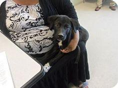Joplin, MO - Labrador Retriever Mix. Meet Blackey  83780, a dog for adoption. http://www.adoptapet.com/pet/11753826-joplin-missouri-labrador-retriever-mix