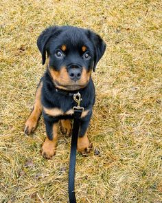 Rottweiler Love, Rottweiler Puppies, Cute Funny Animals, Cute Dogs, Dogs And Puppies, Doggies, Cute Animal Pictures, Make You Smile, Rottweilers