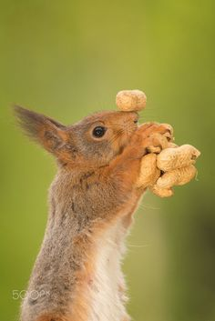 "Squirrel:  ""I just cannot get enough!""  (Photo By: Geert Weggen on 500px.)"