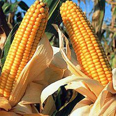 Los cultivos transgénicos tienen unas ventajas enormes desde el punto de vista económico y ambiental. Hay dos tipos de transgénicos: los que resisten a los insectos, como el maíz (que se modifica genéticamente para poder resistir al taladro) o el algodón y los que resisten a herbicidas (soja, colza).