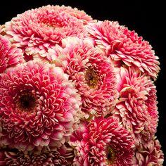 Certi Gerbera Germini Pomponi Gala, roze, boeket, bloemen, Certi #Bloemen, #Planten, #webshop, #online bestellen, #rozen, #kamerplanten, #tuinplanten, #bloeiende planten, #snijbloemen, #boeketten, #verzorgingsproducten, #orchideeën